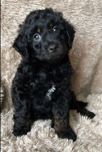 MALE SPOODLE - READY FOR NEW HOME NOW