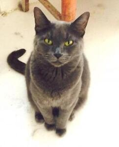 "Adult Female Cat - Domestic Short Hair-gray: ""Dusty"""