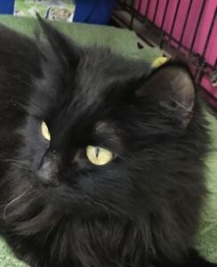 "Young Female Cat - Domestic Medium Hair: ""Tempest"""
