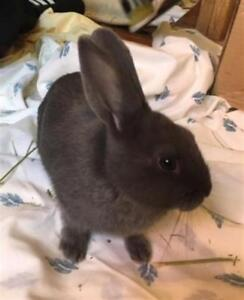 """Baby Male Rabbit - American: """"Spinach"""""""