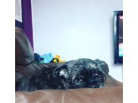 Westy + pug