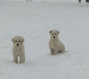 Maremma guardian puppies for sale