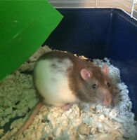 2 Male Fancy Rats, brown + white