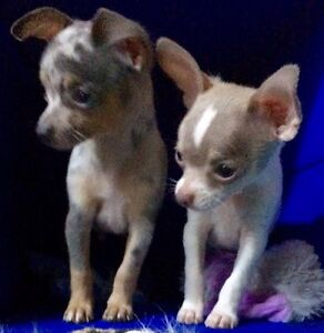 New Chihuahua  Pups for sale ! (Coming soon )