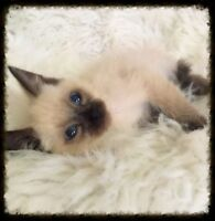 Sweet Seal Point Siamese Girl - 1st Shots  - Will Deliver