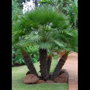 20 semi palma nana chamaerops humilis san pietro for Palma di san pietro
