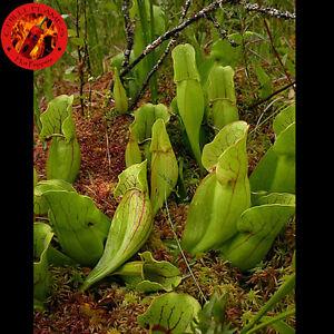 5 semi di sarracenia purpurea pianta carnivora 5 di for Vendita piante bambu gigante