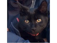 Missing 4 moths old kitten, black, wearing red collar, at Ivybridge, Tavistock Road, Worle, BS22 6LP