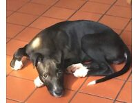 Bull lurcher for sale 6month old little lady £170