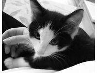 Missing Kitten/ Cat Fordingbridge