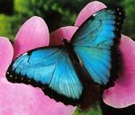 butterfly7blue