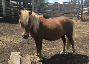 Miniature/small horse stud clearance Toowoomba Toowoomba City Preview