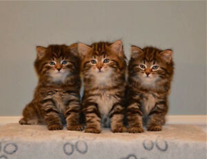 AMERICAN BOBTAIL KITTENS-TICA REGISTERED