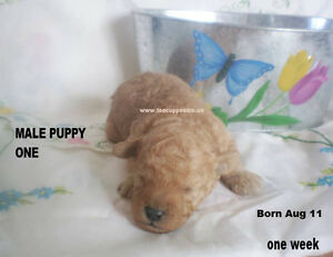 Toy / Tiny Toy  Poodle Puppies C K C Registered