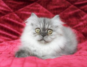 DollFace Pure Persian Kittens