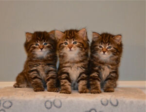AMERICAN BOBTAIL KITTENS-TICA REGISTERED/PUREBRED