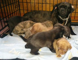 CHUG PUPPIES FOR SALE! READY OCT 19