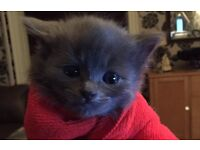 6 gorgeous fluffy grey kittens for sale