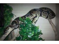 Female Royal Python for sale