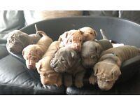 8 Beautiful Shar Pei puppies amazing colours
