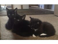 3 Kittens - Shy boys & girls who need lots of love and a little patience ready now.
