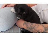 Lhasa apso / Chug pup