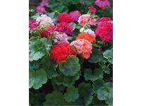 Geranium Jackpot F1 mixed - 9cm diameter pots - blooms will last all summer