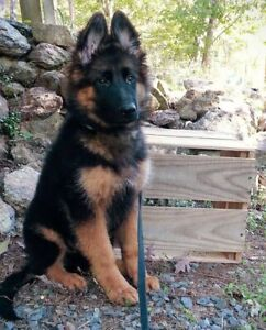 Wanted: WANTED: German shepherd male puppy