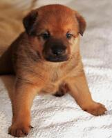 "Baby Female Dog - German Shepherd Dog: ""Nutmeg"""