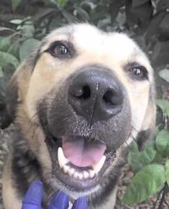 "Adult Male Dog - Shepherd-Labrador Retriever: ""MERLIN"""