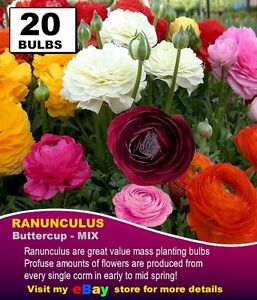 RANUNCULUS-BULBS-MIXED-COLOURS-20-x-Bulbs
