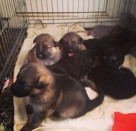 German Shepard Puppies For Sale Ready Now
