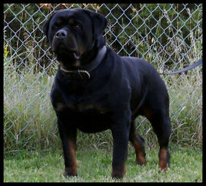 MONSTER SIZE GERMAN Rottweiler Puppies CKC Registered