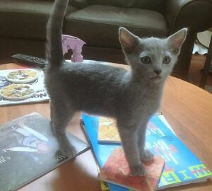 Russian Blue kitten wanted for xmas!