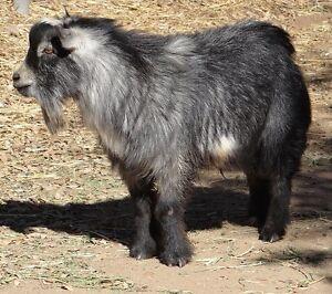 pygmy buck