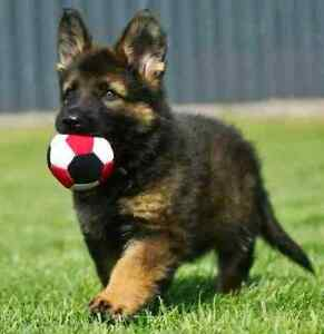 Looking for a purebred German Shepherd