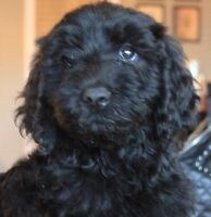 F1b allergy and shed friendly MEDIUM Goldendoodle Puppies
