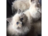 Pedigree RagDoll Kittens Available Now!