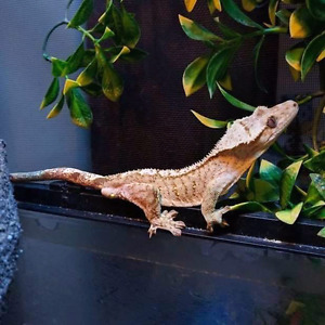 Crested gecko with Habitat
