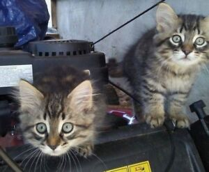 HALF MAINE COON KITTENS LOOKING FOR THEIR FOREVER HOMES
