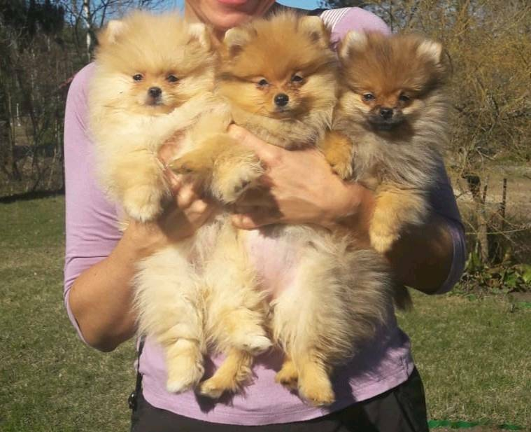 Teacup size Pedigree Pomeranian puppies for sale | in Crawley, West Sussex  | Gumtree