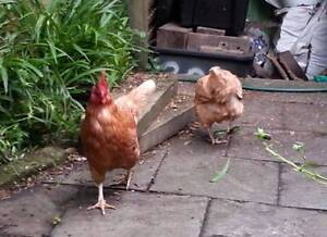 """""""End of Lay"""" Hens Available as Children's Pets Annandale Leichhardt Area Preview"""