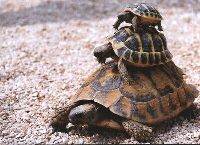 Ansichtskarte: die Schildkröten - Pyramide - a turtles pyramid