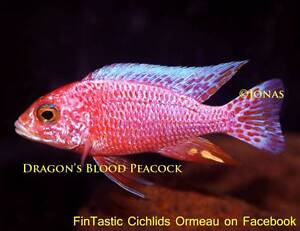 Dragons Blood Peacocks..+20 other types of great African Cichlids Ormeau Gold Coast North Preview