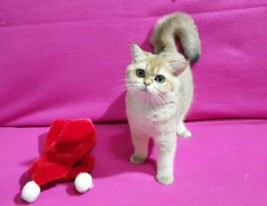 ❤️Golden British Shorthair Kittens ❤️
