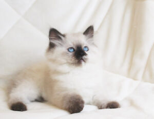 Dollfaced Persian/Himalayan Kittens for adoption