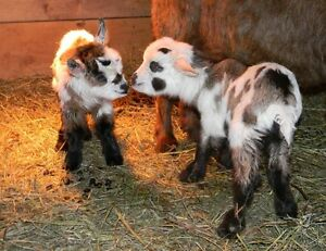 Canadian Goat Breeders - Myotonic Fainting Goat Bucks