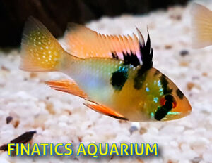 Rams and other Dwarf CIchlids NEW at FINATICS!
