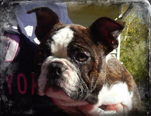 Bantam Bulldogges/Mini Bulldogs Available!
