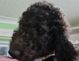 F1b Goldendoodle from health tested parents